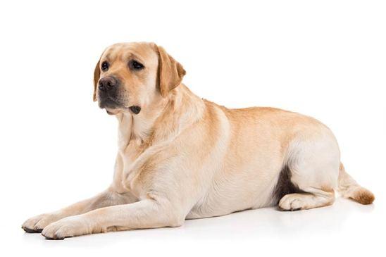 Jenis-Jenis Anjing Labrador Retriever