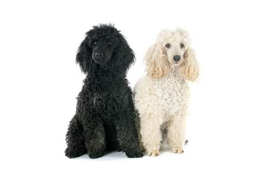 Type of Poodle Pet Dog