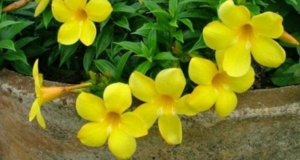 bunga alamanda