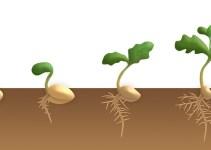 Ciri-Ciri Tumbuhan Dikotil