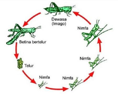 Bagian Tubuh dan Ciri-Ciri Insecta Secara Umum
