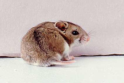 Hamster Cina