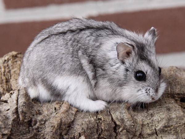 Jenis-Jenis Hamster Campbel
