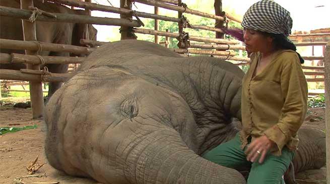 ज़रूर देखें विडियो : महिला की लोरी सुन कर हाथी कैसे सो जाते हैं