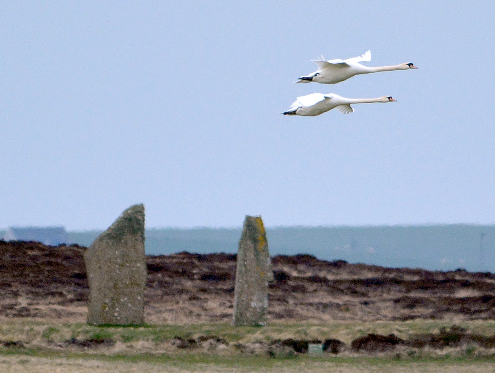 Swans over the Ring of Brodgar