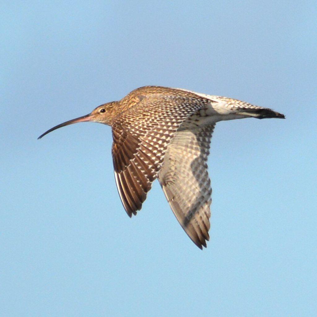 Curlew in flight.