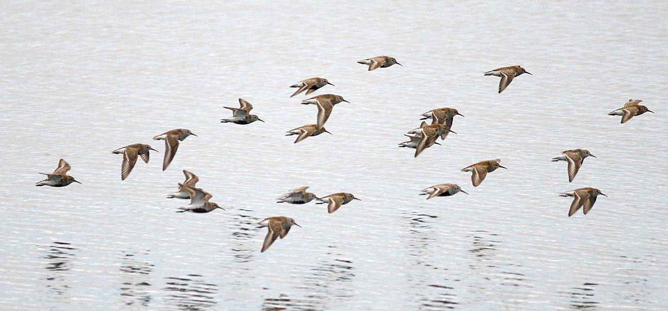 A flight of dunlins (boondies).