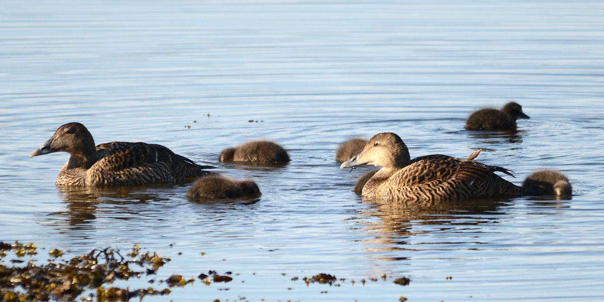 Female eider ducks shepherd their ducklings.