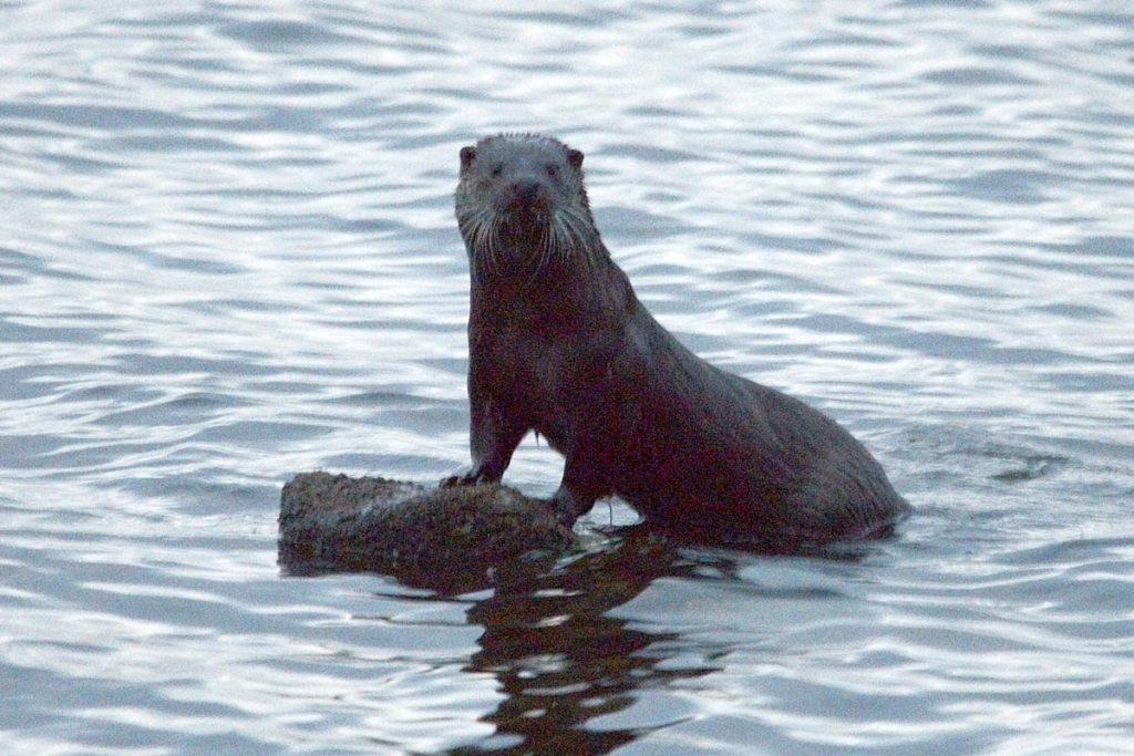 Otter in the Harray loch