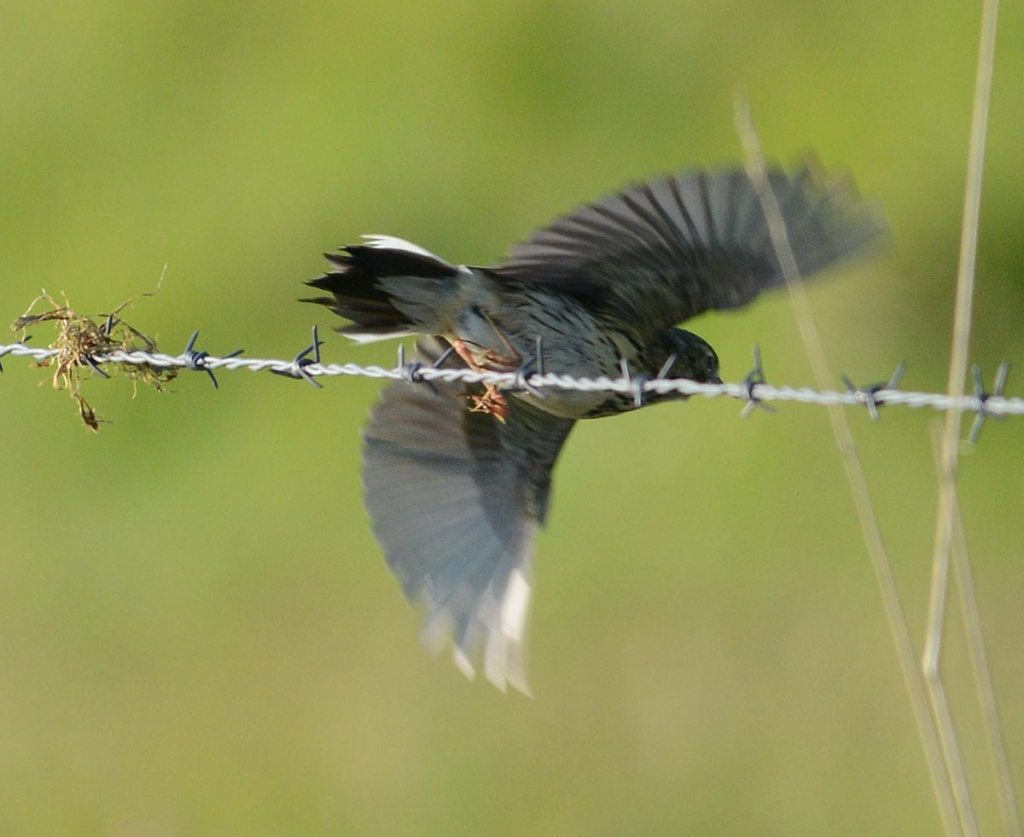 Meadow pipit takes flight