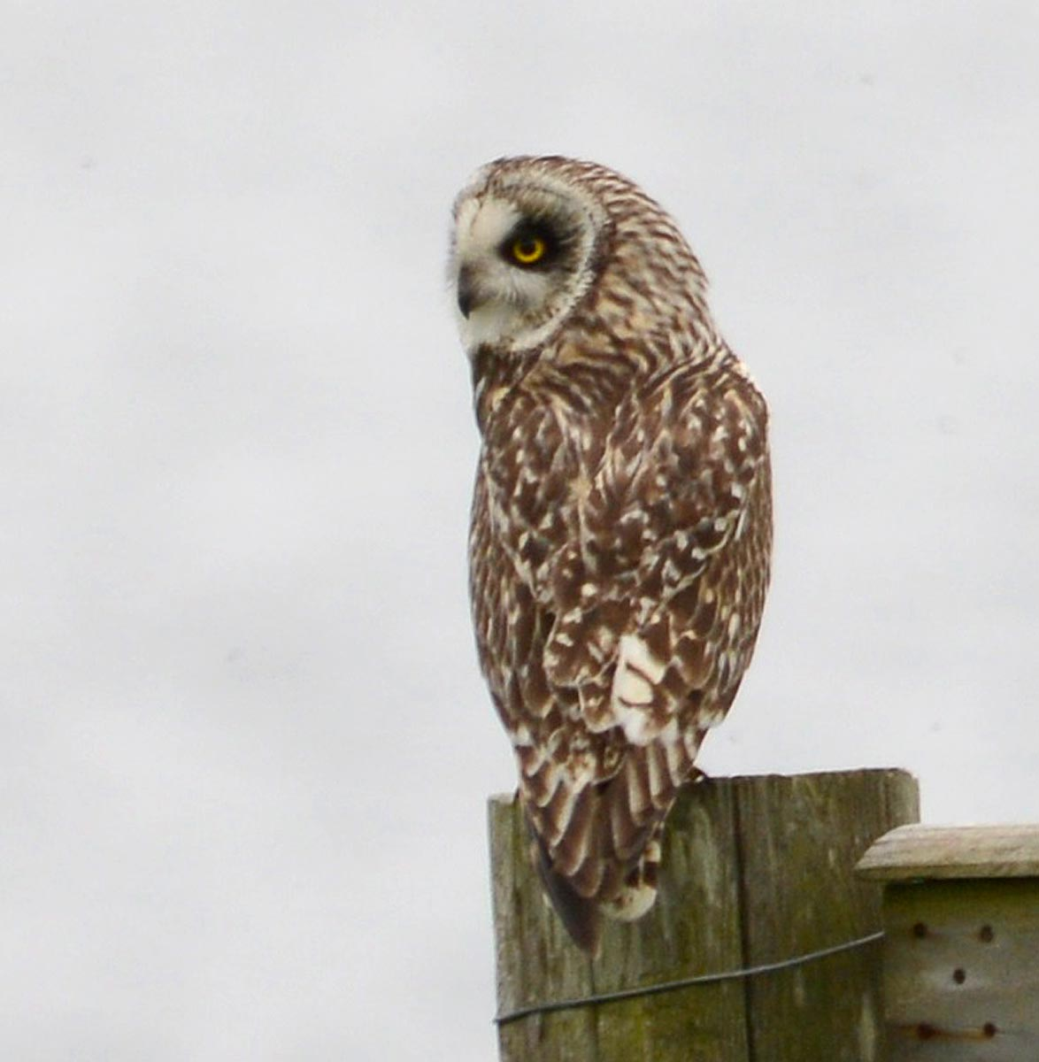 Short eared owl at dusk.