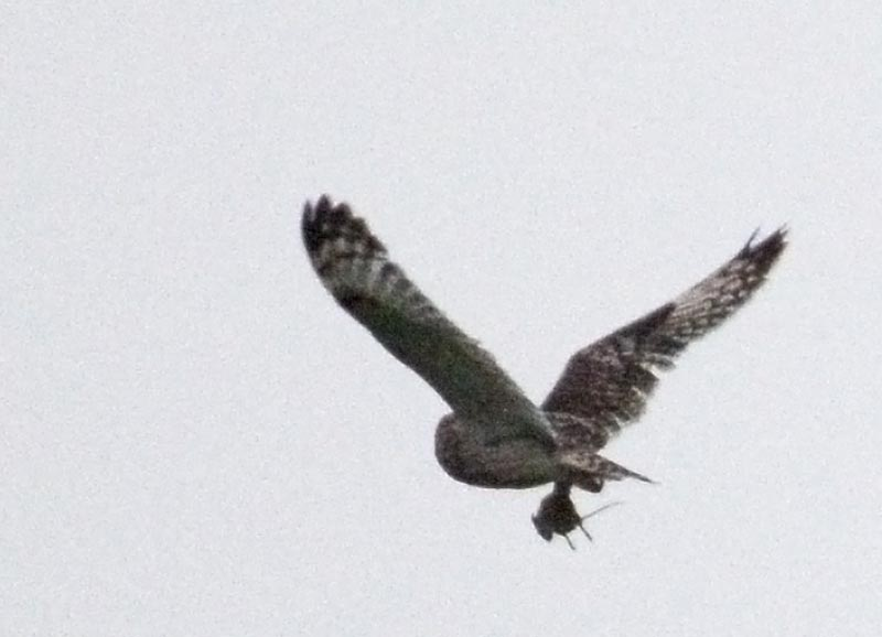 Short eared owl heading home with its prey