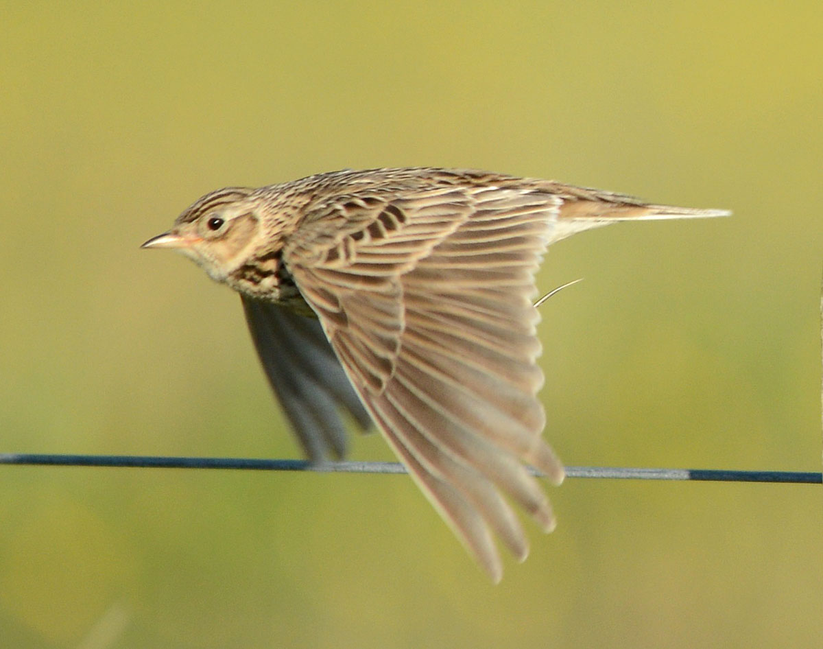 Skylark on the wing.