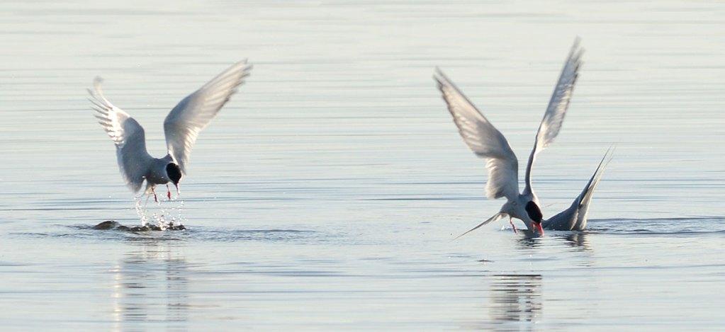 Terns fishing.