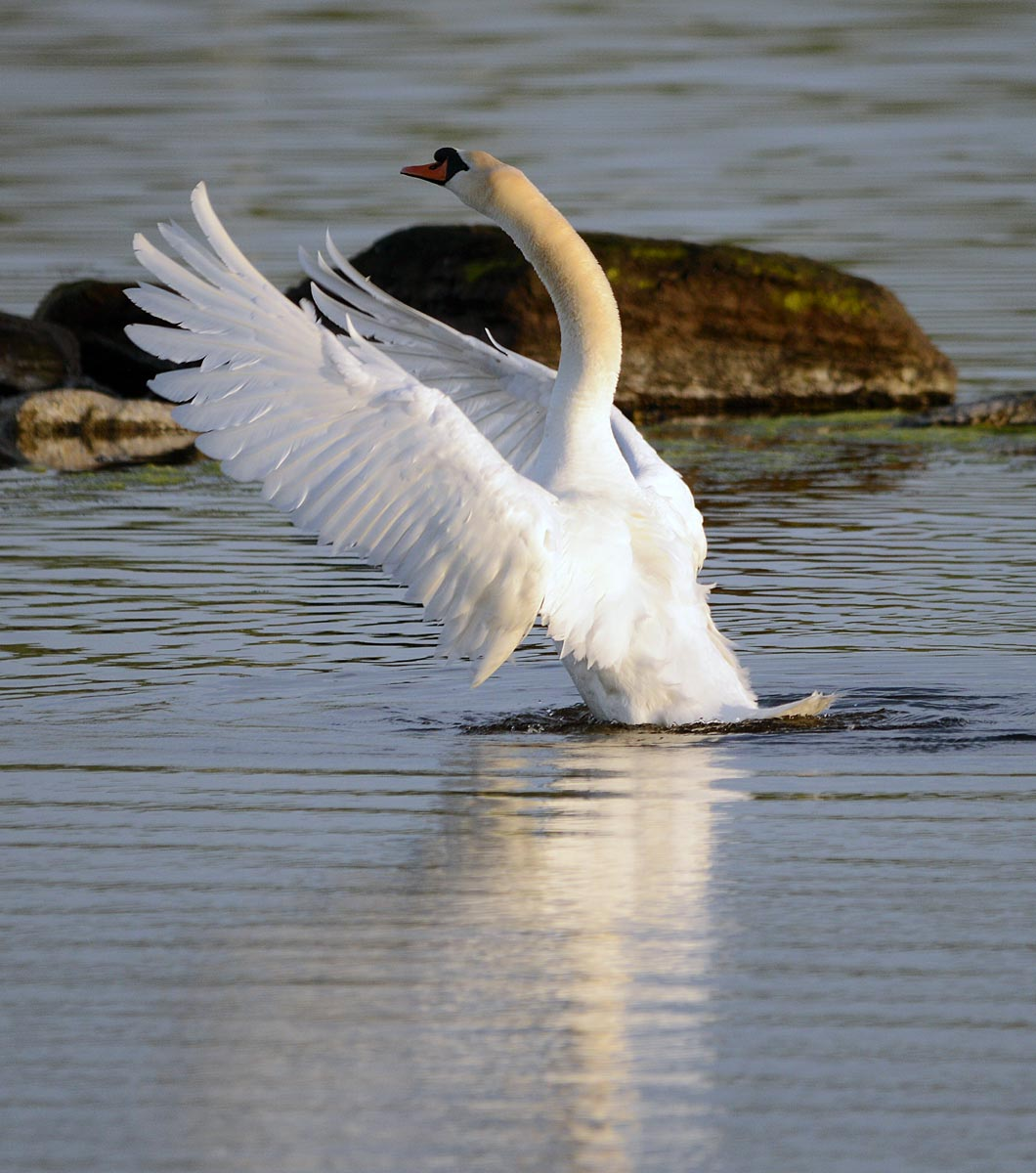 In a flap. One of the Stenness loch swan population.