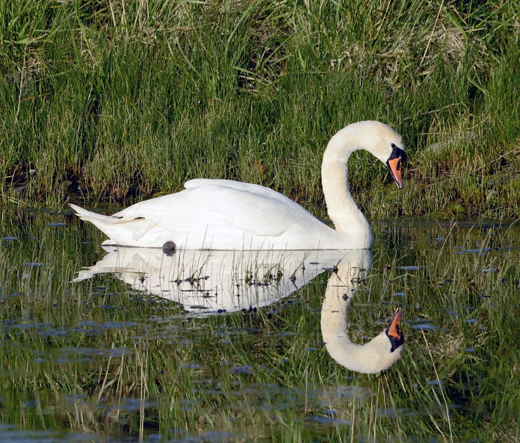 Stenness swan and reflection.