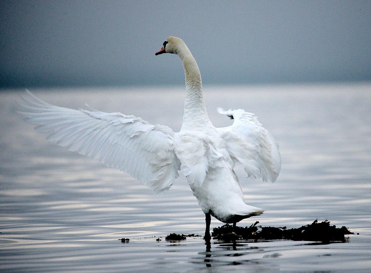 Stenness loch swan.
