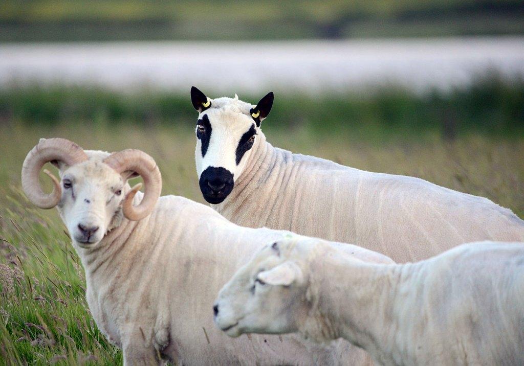 A Kerry Hill (or panda!) sheep.