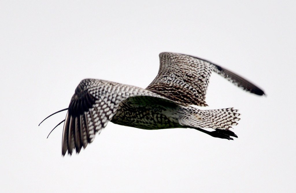 Flight of the curlew.