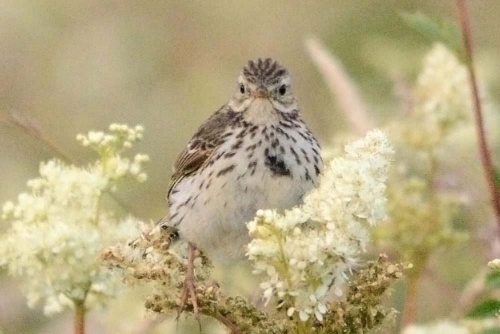 Meadow pipit in meadow sweet.