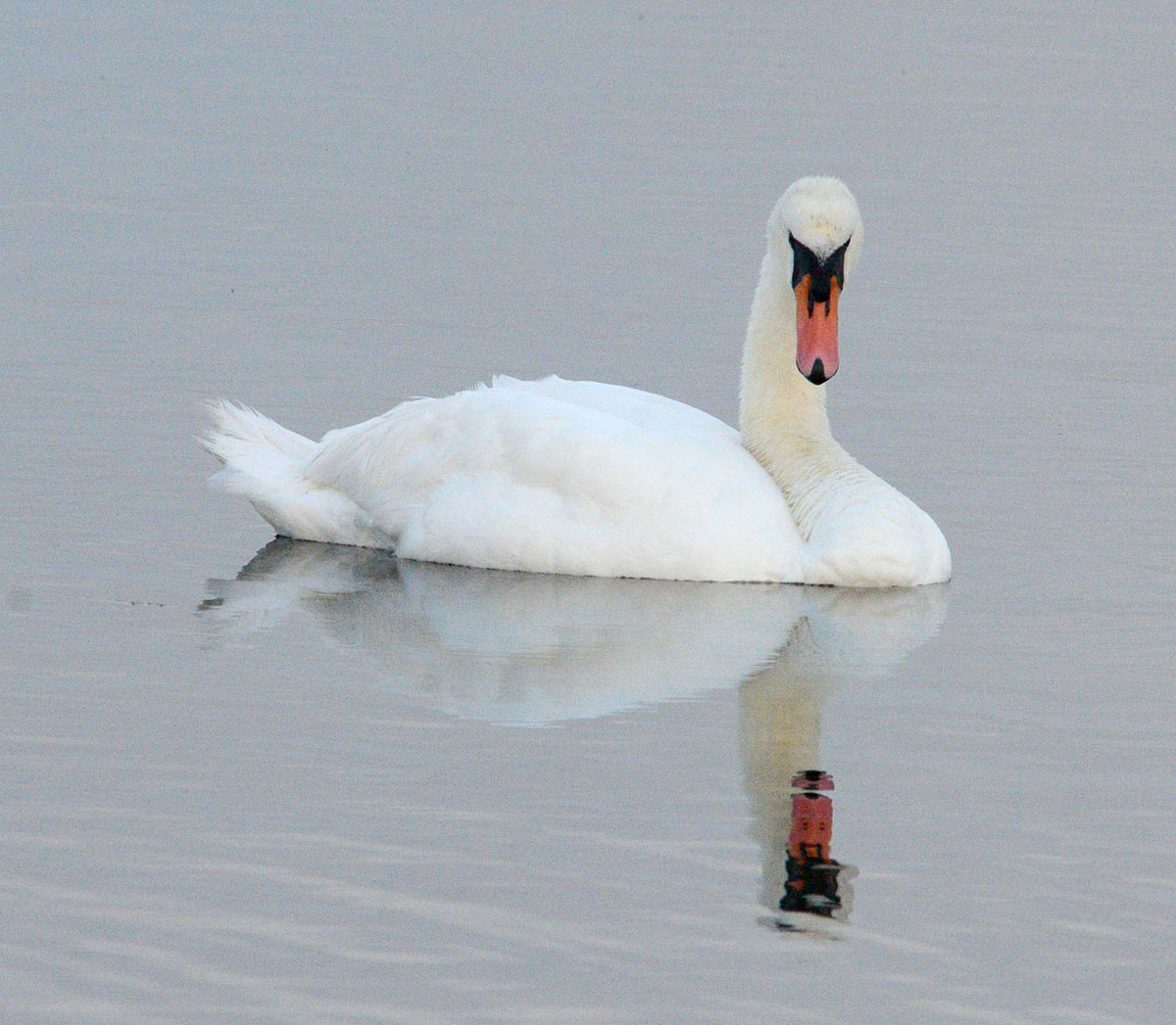 Stenness swan reflection.