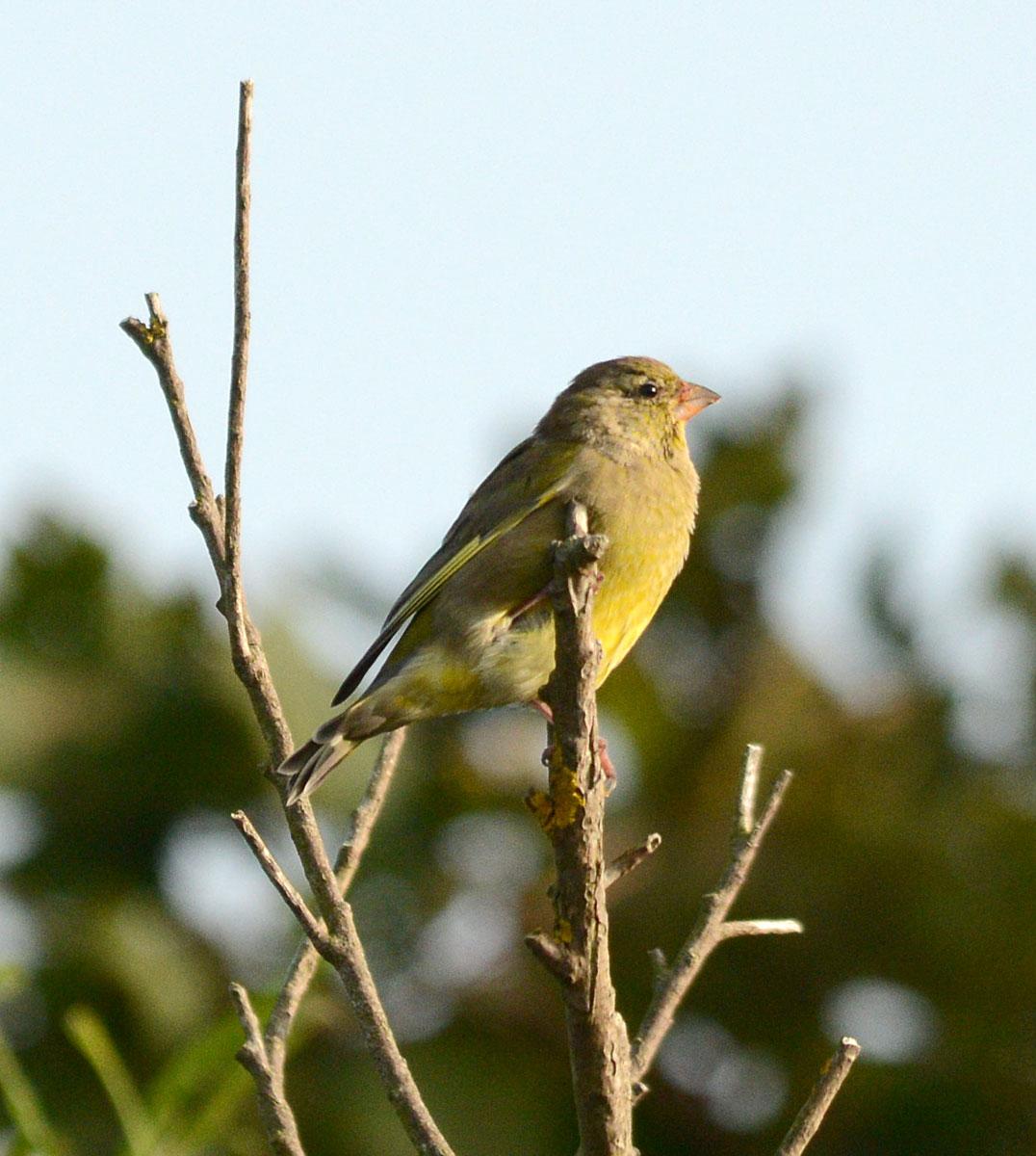 Female greenfinch.