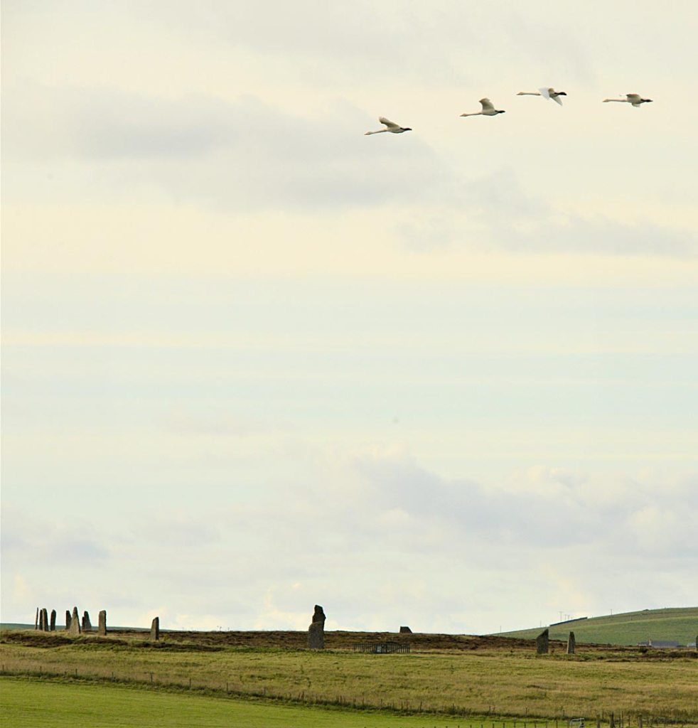 Whooper swans over the Ring of Brodgar