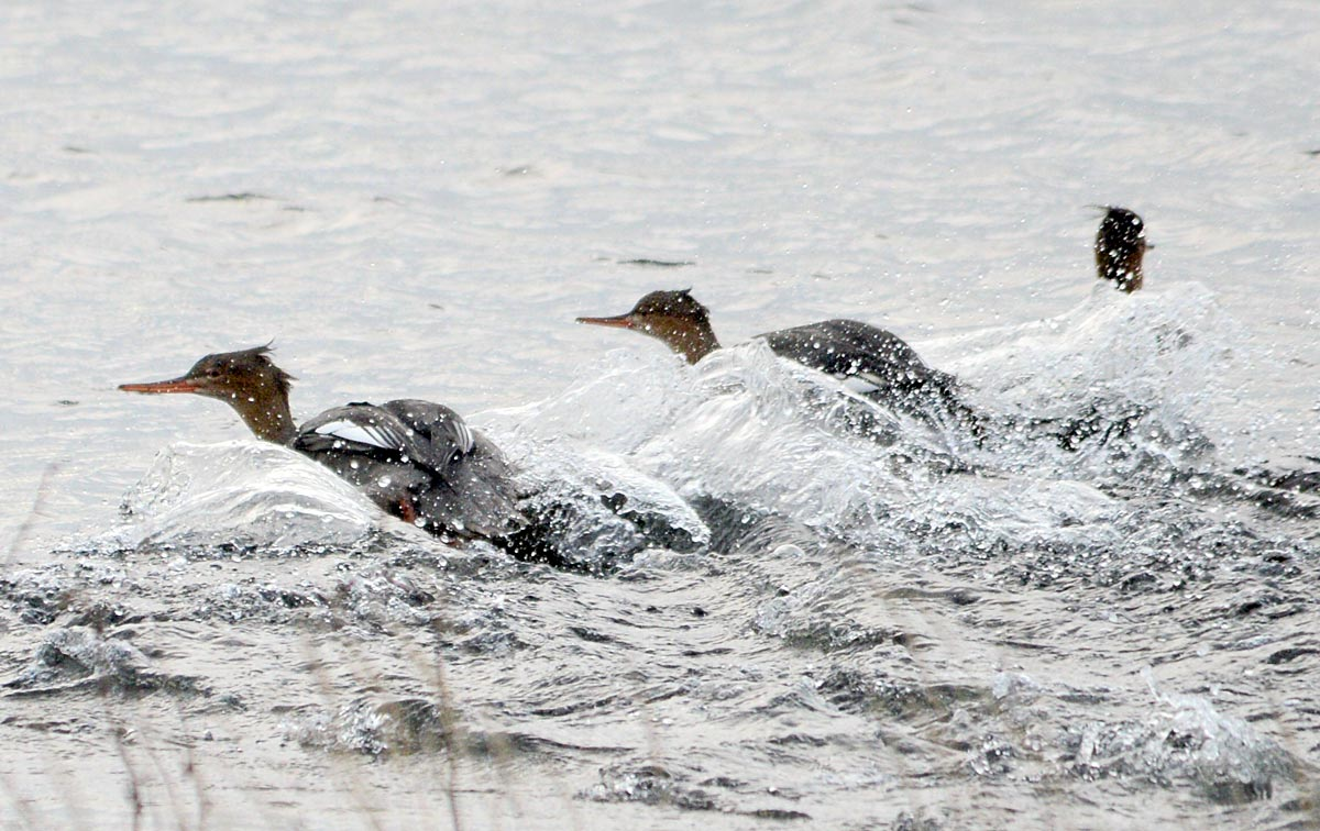 Mergansers take flight.