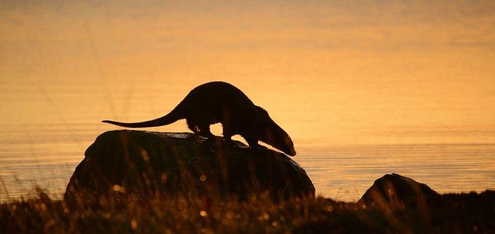 Otter at sunrise