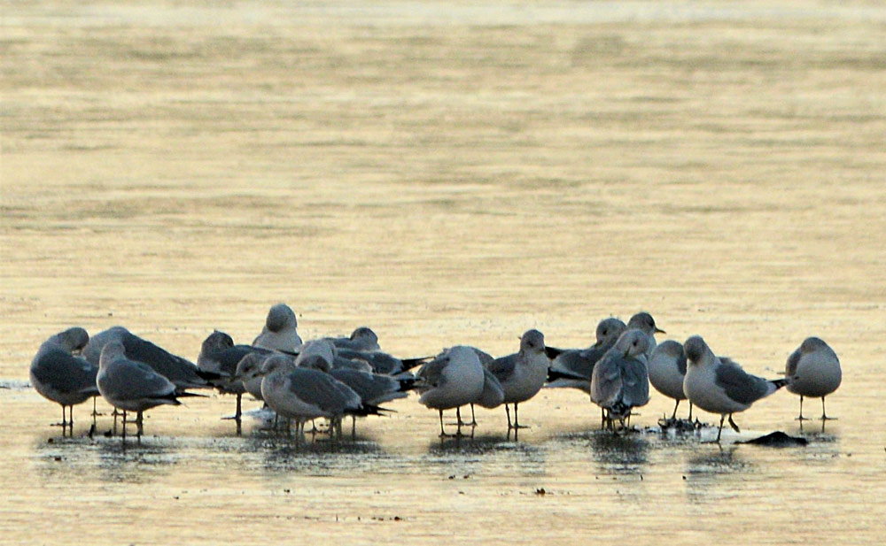 Flock of gulls huddle together on the frozen Loch of Stenness.