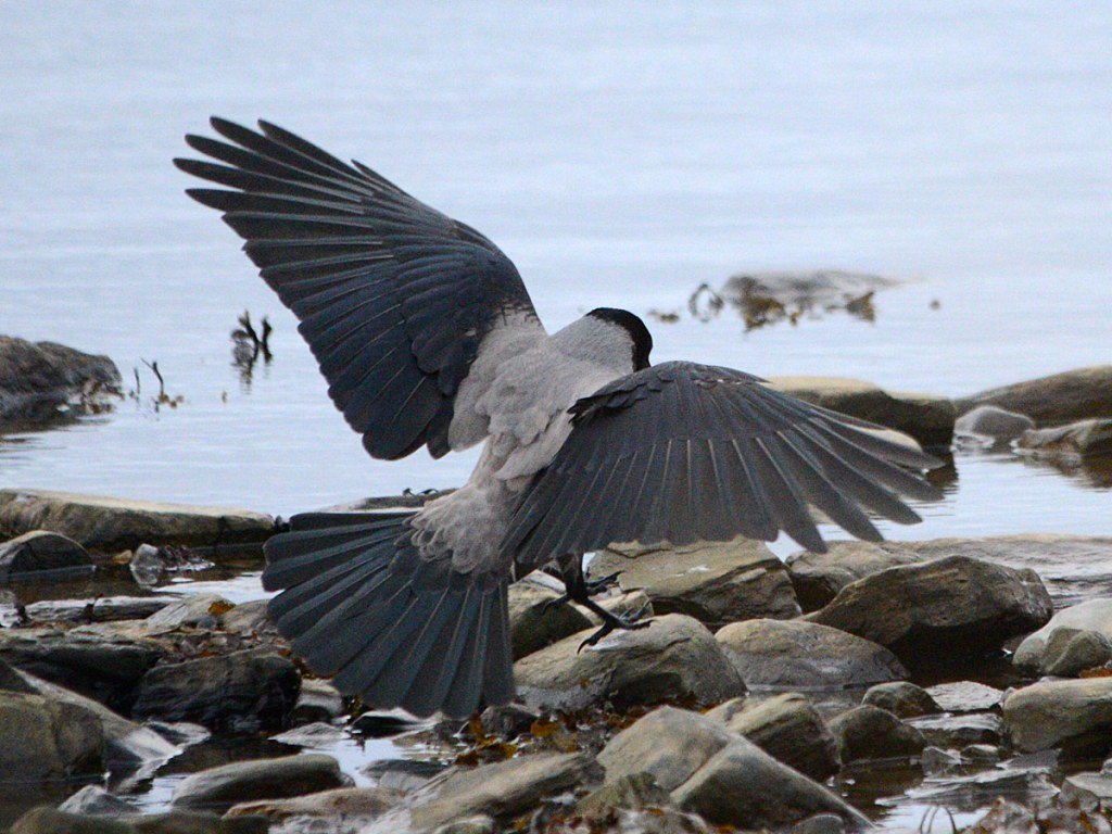 Hooded crow landing.