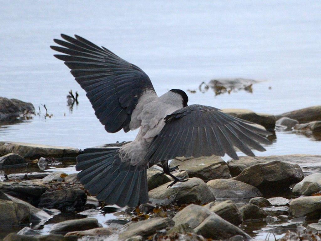 Hooded crow landing.