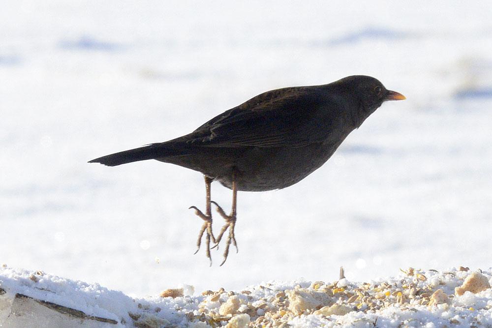 Female blackbird launches.