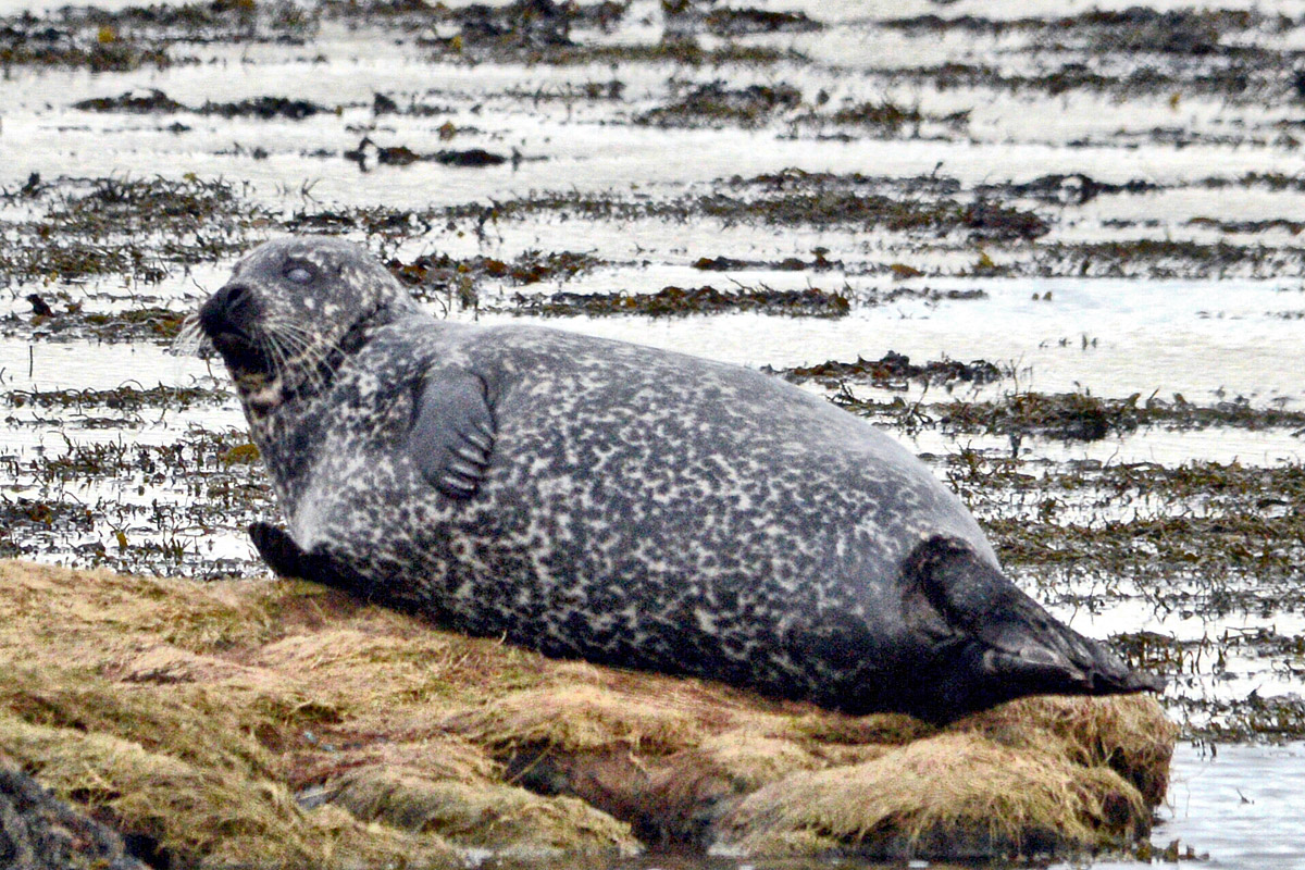 Like a slab of marble - a common seal by the Stenness loch.