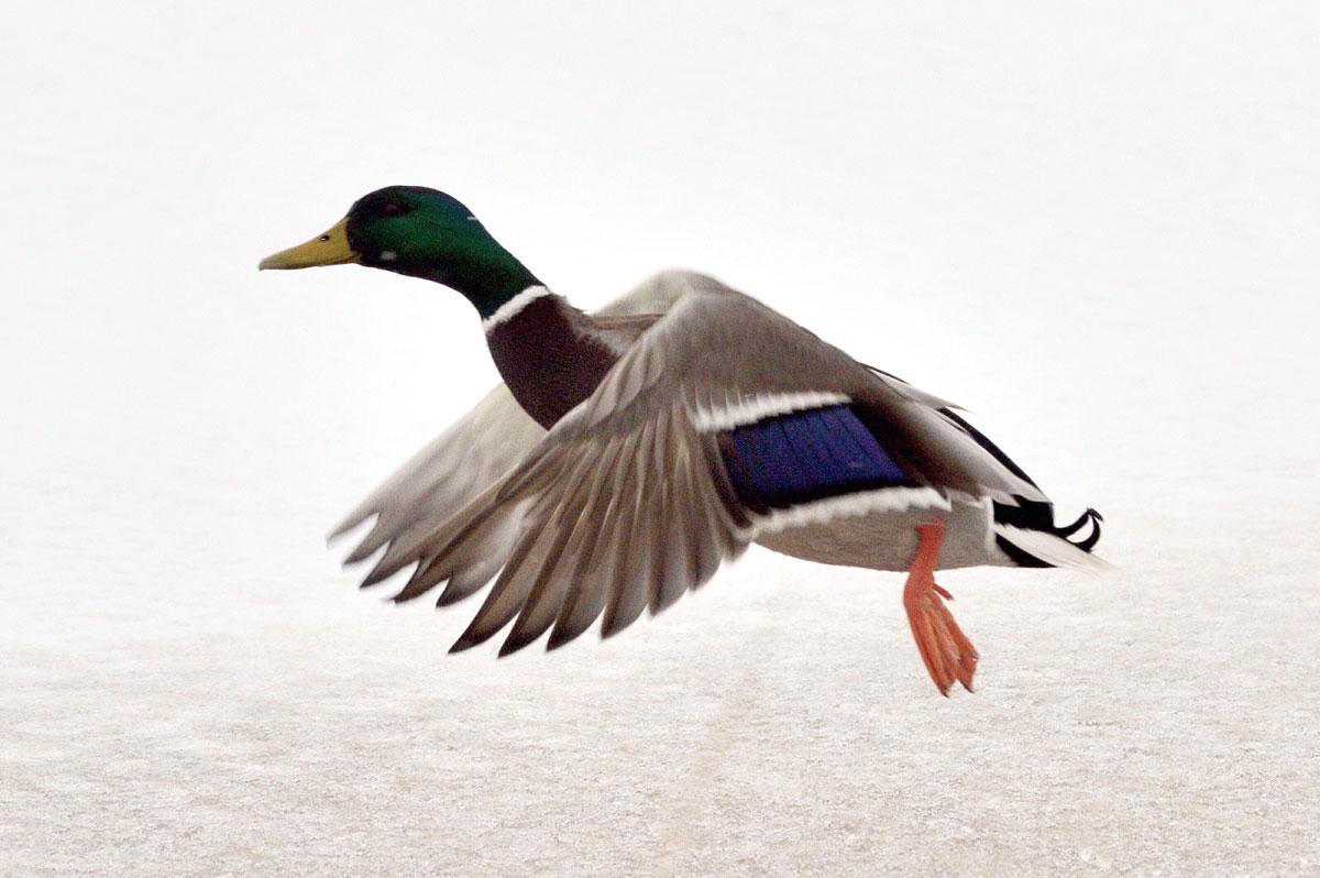 Male mallard takes flight.