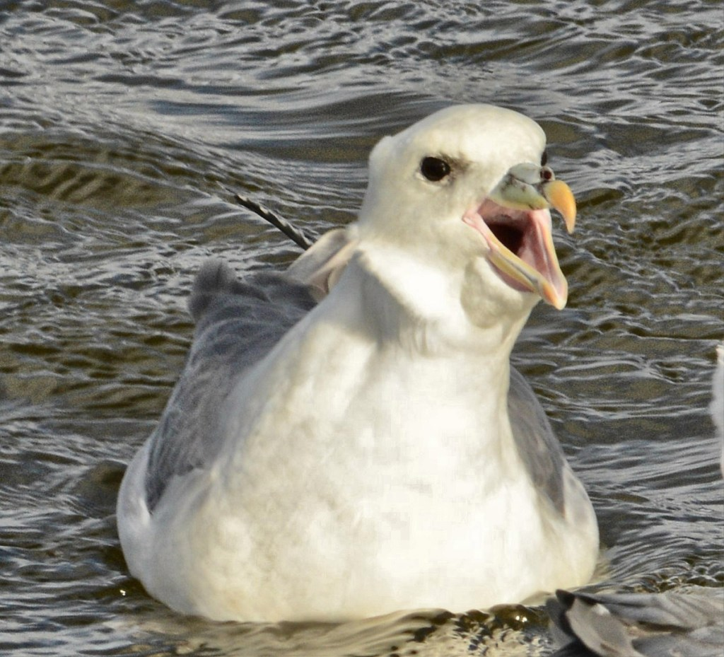 One of the fulmars who nest along the shores of the Loch of Harray.