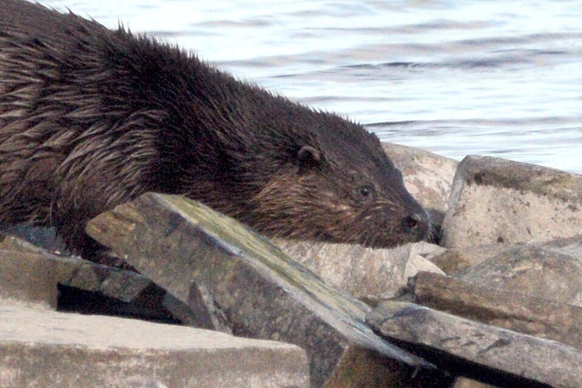Otter on the Harray loch shore.