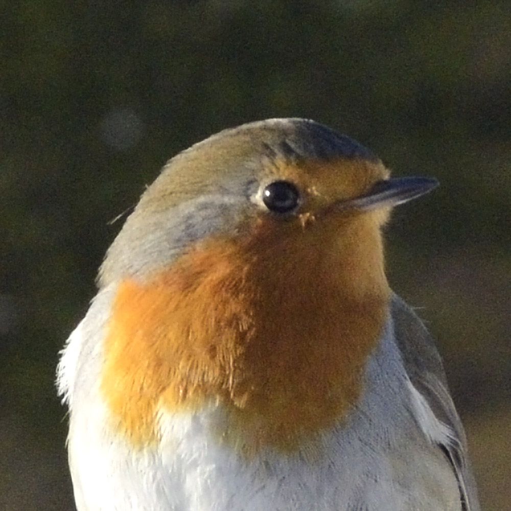 Robin portrait.