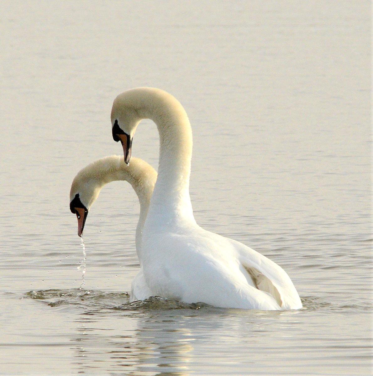 Swan pair.