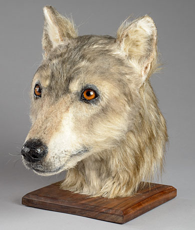 Forensic reconstruction of one of the dogs interred at Cuween around 2500BC. Click here for more details. (HES/NMS)