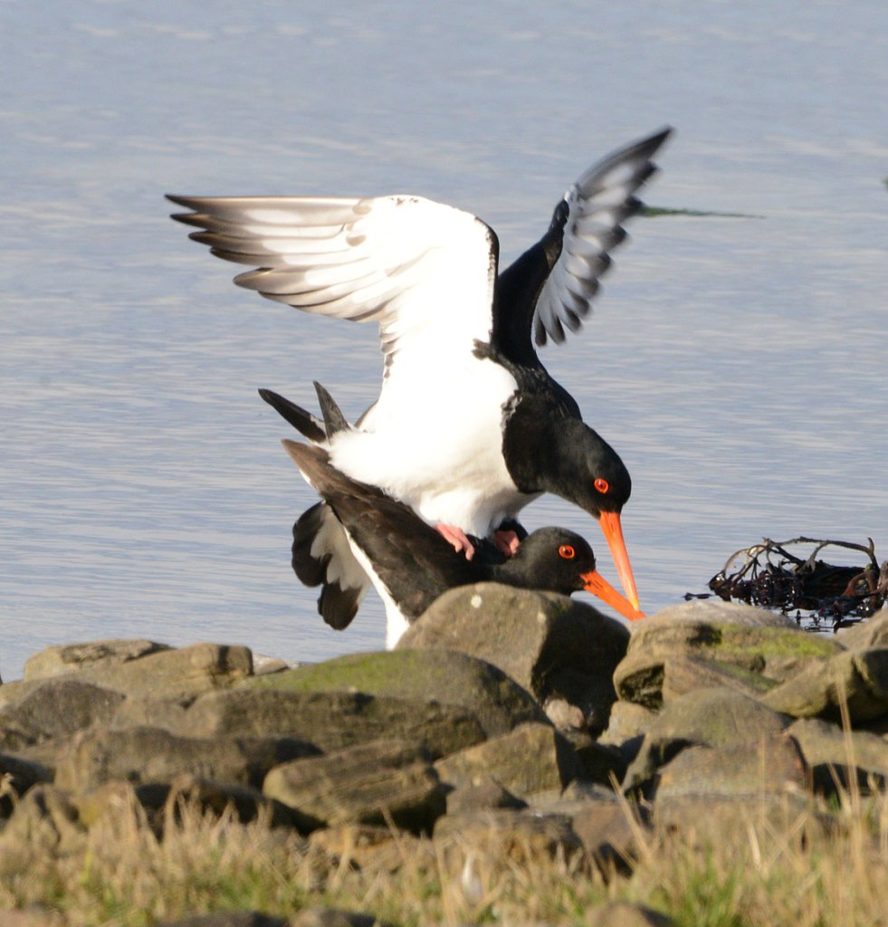 Oystercatchers doing what comes naturally.