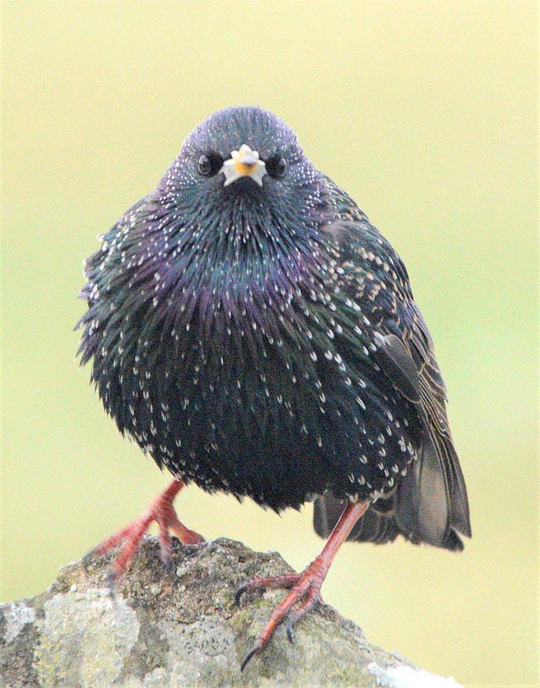 Starling head on.