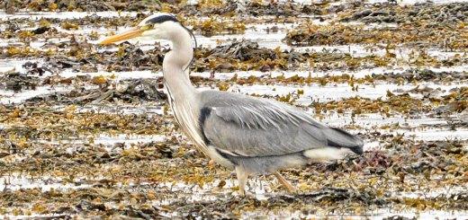 Heron on the prowl - Nick Card