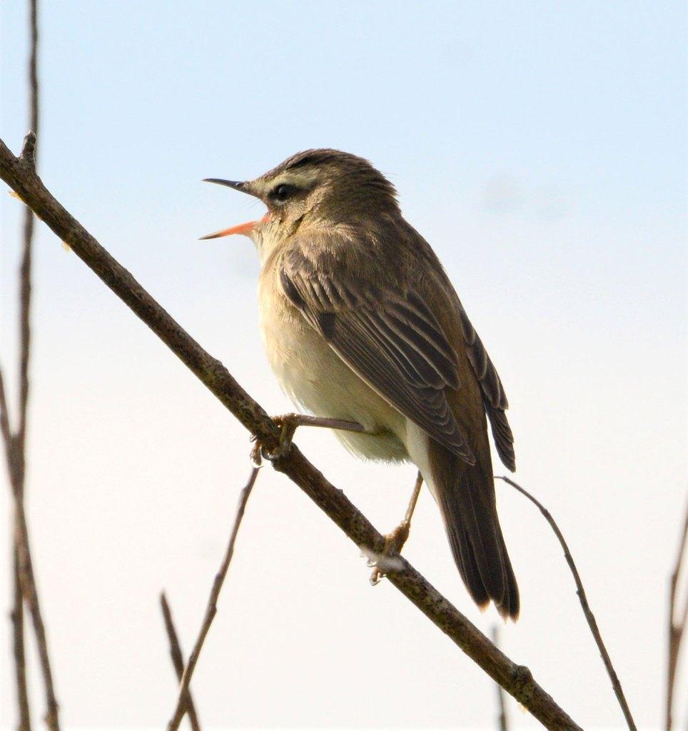 Sedge-warbler.