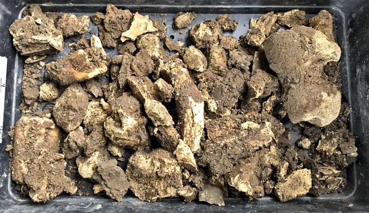 Animal bone deposit from within the Trench J baulk. (Sigurd Towrie)