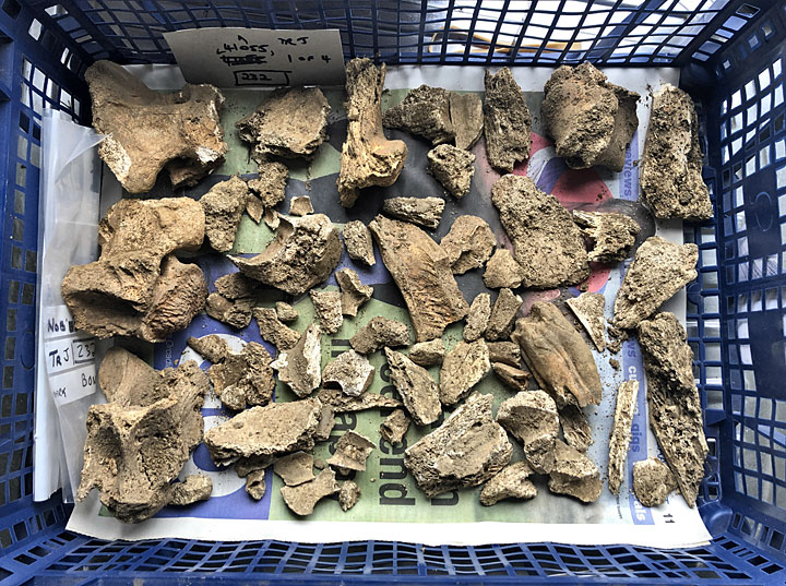 A small selection of an animal bone deposit from Trench J. The animal in question was probably a cow, or bullock, and despite being young was large. (Sigurd Towrie)