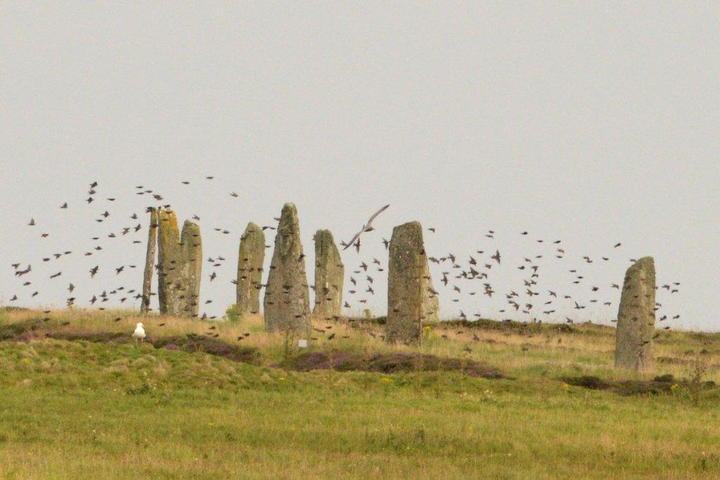 A murmuration of starlings at the Ring of Brodgar.
