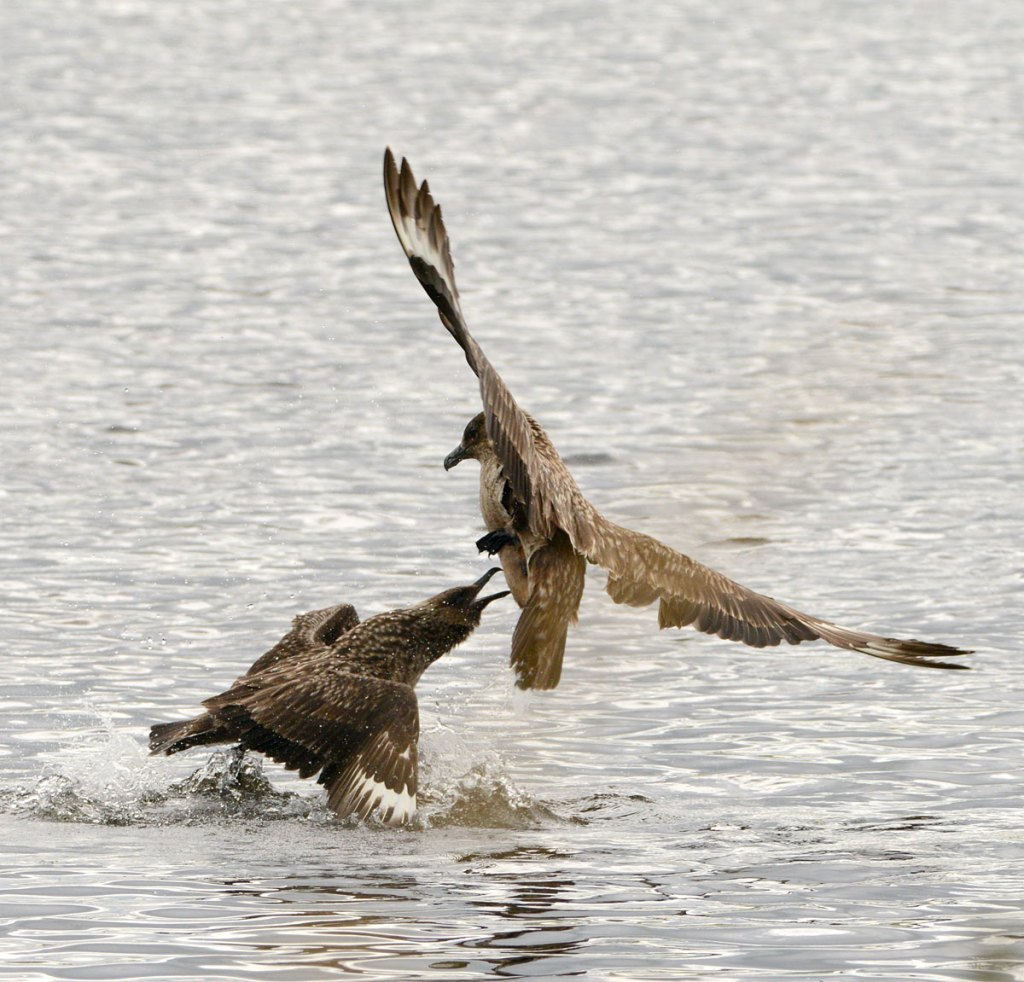 Great skuas - or bonxies as they're known locally - disagree over a kill.