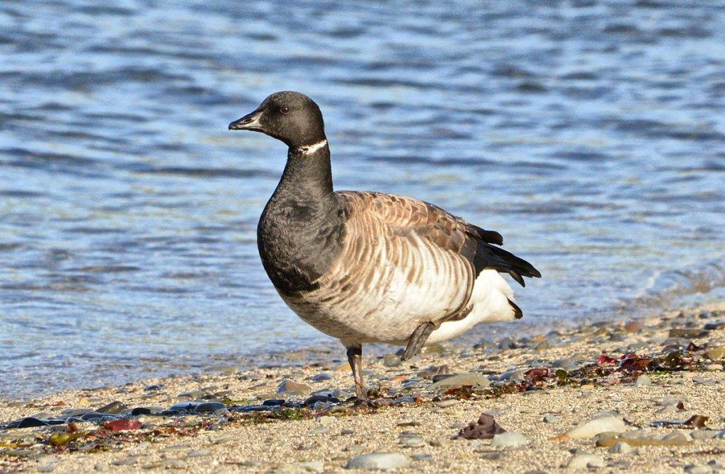 Brent-goose: quite rare in Orkney.