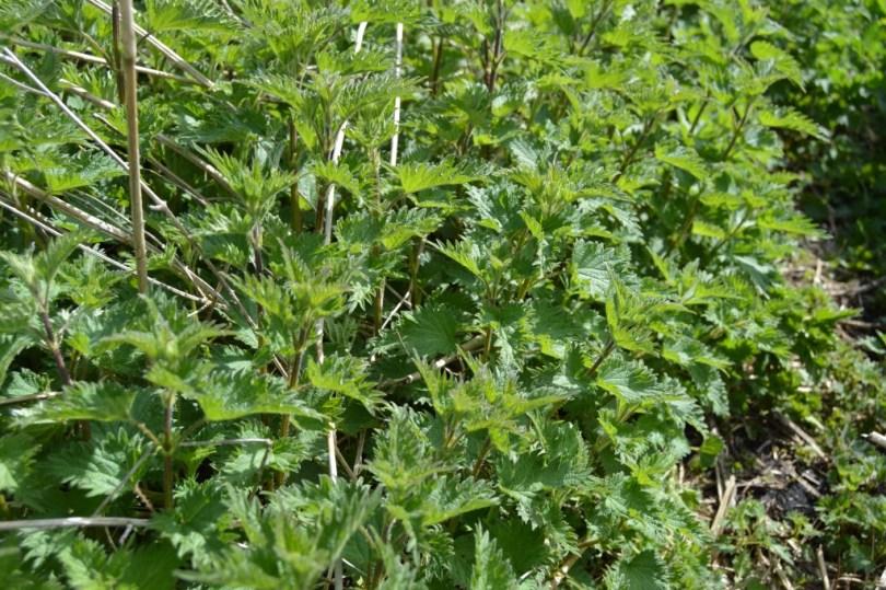 stingy nettles growing abundantly